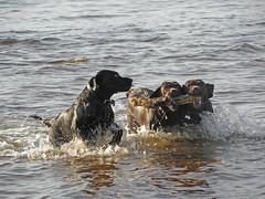 Labs (g crawford) Tags: sea dog beach dogs scotland labrador scottish scot stick paddling fetch crawford scots labradors ayrshire fetching seamill seamillbeach