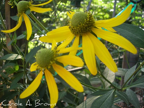 Native Perrenial sunflower