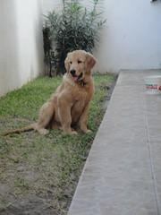 whiskey 8 (melyrave) Tags: dog golden whiskey retriever cutie newcamera