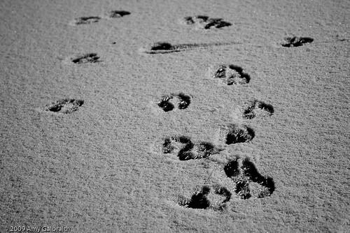Elk Tracks on Ice