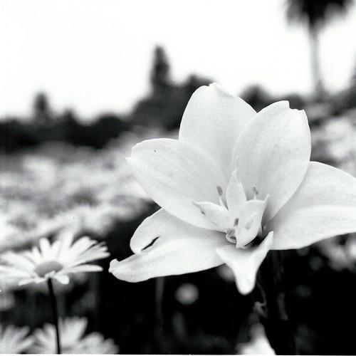 Centennial Park Flower