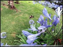 IMG_3588 (Ivan Darghan) Tags: macro canon bee abelha nectar polinizao mamangava sx10is