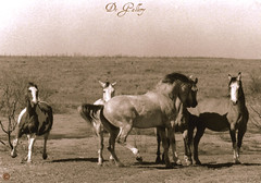 mares coming to meet the stallion (DeGallery) Tags: horse animals quarter stud stallion equine mares quarterhorse loh