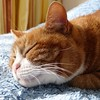 Maartje, time for hibernation. (Cajaflez) Tags: sleeping orange pet cute cat ginger chat katze cortez gatto poes slapen hibernation maartje gati winterslaap cc100 kissablekat bestofcats saariysqualitypictures