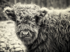 (StephsShoes) Tags: baby highlandcattle hairycow cutecutecute canon247028l thelittledoglaughed