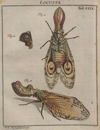 Locusta V.2 b