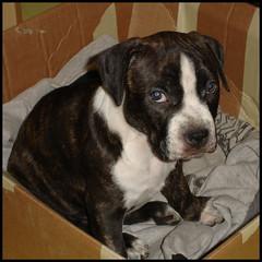 DSC03918 (Bargais) Tags: dog puppy pups puppies terrier american doggies staffordshire suns amstaff stafs kucēns terjers stafiņš amstafs