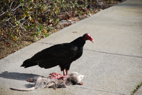 vulture debbie ojeda