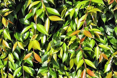 Syzygium paniculatum (rq) - 01
