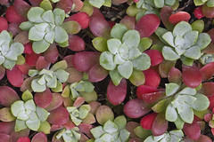 Broadleaf Stonecrop (Sedum spathulifolium) (Lee Rentz) Tags: usa plant nature leaves rock america washington leaf succulent flora pacific fat rocky wash whidbeyisland northamerica wa pugetsound botany deceptionpass sedum whidbey stonecrop northamerican sedumspathulifolium deceptionpassstatepark broadleafstonecrop 2009wa2362