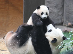 Baby panda Yun Zi wrestling with his mom Bai Yun (kjdrill) Tags: china california bear usa animal giant mom zoo panda sandiego bears first yun pandas bai sighting endangeredspecies zi 9593 babycub 25faves wrestlingplaying