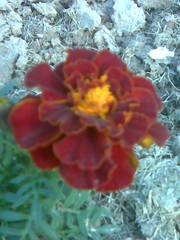 Gainda phool (lilylineous) Tags: flowers flower multicolored