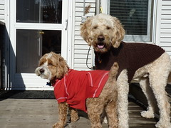 Harvey the Cockapoo and Cooper the Goldendoodle Model their New Apparel (Angie Naron) Tags: dog canine mansbestfriend cockapoo goldendoodle spoodle womansbestfriend dressedupdogs caninecouture angienaron harveythecockapoo cooperthegoldendoodle photobyangienaron styliedog