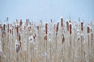 Cattails, Snow