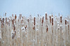 Cattails, Snow (andertho) Tags: snow delete9 delete5 delete2 dc washington delete6 delete7 snowstorm january save3 delete8 delete3 save7 save8 delete delete4 save save2 explore save9 save4 dcist save5 save6 frontpage huntleymeadows smithyssave10