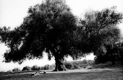 near Apollonia (langwiekurz) Tags: leica travel blackandwhite film analog 35mm mp monochrom balkans albania coolscan negativ balkan summarit albanien leicamp schwarzweis classicpan leicam shqipri negativscan shqipria summarit35 newsummarit