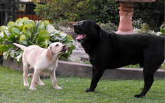 02 (pamelambada) Tags: dog puppy happy labrador perro perros doggies