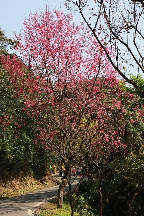 樹林大同山青龍嶺的櫻花林0008