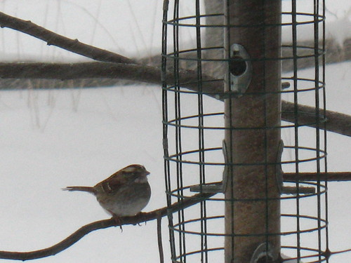 white-throated sparrow at the feeder