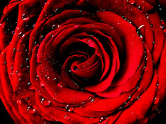 True Love Rose (svetslike) Tags: red rose repost saintvalentine danzaljubljenih celebratinglove svetitrifun