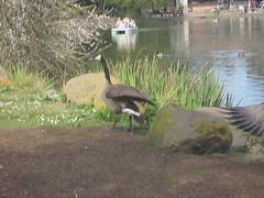 The Grumpy Goose