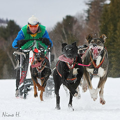 We are one team (Nino H) Tags: winter dog canada animal race quebec hiver course qubec sled steagathe chiens laurentides chiensdetraineaux