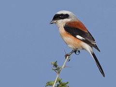 Bay-backed shrike  [Explored] (Tarique Sani) Tags: india bird birds fav50 wildlife fav20 fav30 fav10 fav40 fav60 baybackedshrike laniusvittatus