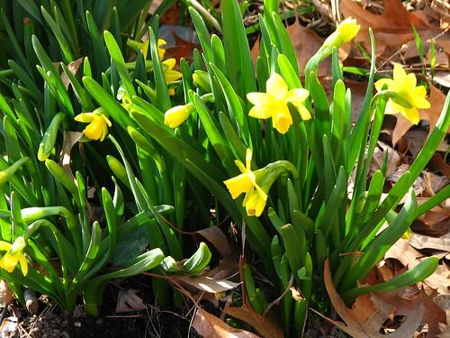 Tete-a-Tete mini daffodils