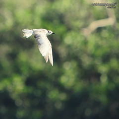 Flying over bokeh (Sir Mart Outdoorgraphy) Tags: birds magazine education nikon photographer bokeh outdoor birding best simplicity malaysia penang indah birdwatching birder butterworth birdisland byram littletern unik nikonian d90 migratorybirds bairam menarik nikonuser nibongtebal jurugambar penangflickr sigma150500 pulauburung sirmart outdoorgraphy penangflickrgroup pulauburong