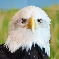 Eagle Portrait at the National Eagle Center (vidular) Tags: minnesota nikon eagle baldeagle raptor mn haliaeetusleucocephalus nec lightroom americanbaldeagle wabasha d90 wabashamn nikon80400f4556afvr nikond90club natinaleaglecenter