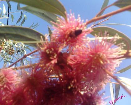Eucalyptus أوكاليبتوس