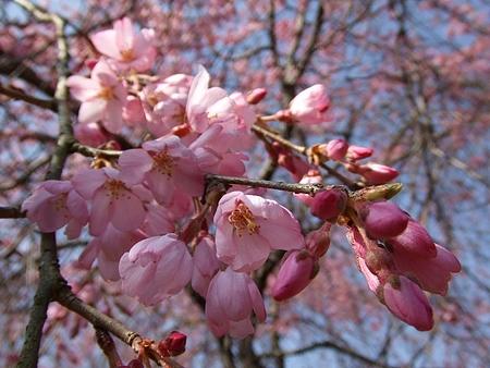三永水源地 枝垂桜が満開に2