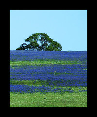 Tree on a hill of Texas Bluebonnets (bunnyfrogs) Tags: blue tree field canon landscape spring texas tx country hill scene frame lone wildflowers bluebonnets springtime 2010 stateflower 50d texasbluebonnets 1galleries