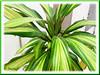 Cordyline terminalis/C. fruticosa or Ti Plant, Hawaiian Ti (green/yellow/pink) inside a Tesco Store, Kuala Lumpur