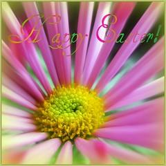 Happy Easter (Bama4) Tags: flower sunrise easter mum rays aclass pinkandgold platinumphoto beautiflower photosofqualitytosmileabout tmiyourartnature beautiflower