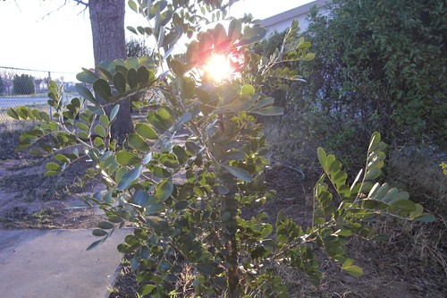 Sunrise through Sophora