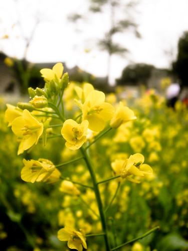百草园中的油菜花