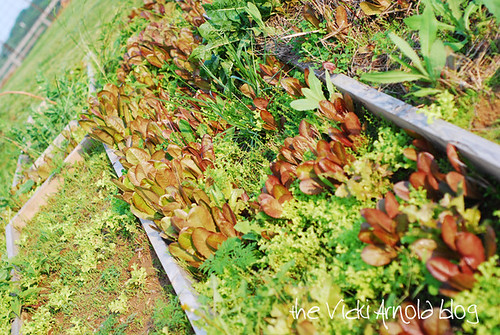 rogue-lettuce