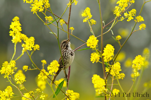 Singing song sparrow in yellow flowers - Pat Ulrich Wildlife Photography