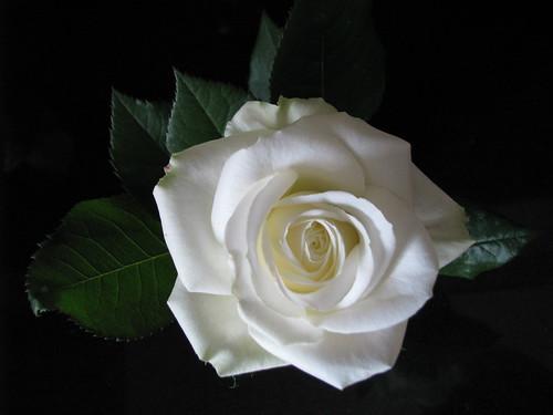 Beautiful Rose IMG_1651 by andrey.salikov