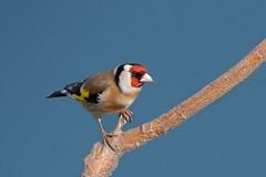 Goldfinch (stanley.ashbourne) Tags: bird nature nikon wildlife goldfinch standlake d7000 photographyforrecreationeliteclub