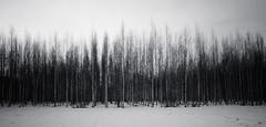 Columns (Antti Tassberg) Tags: vanhakartano puu landscape metsä talvi bw minimal 15mm koivu blackandwhite forest minimalistic monochrome prime simplified tree winter espoo uusimaa finland fi