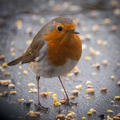 Just a little Robin (jayneboo) Tags: 365 robin bird garden seed feed portrait redbreast square 11