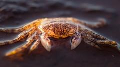 Translucent (RoosterMan64) Tags: australia closeup crab macro monavale nsw nature rockshelf sydney wildlife