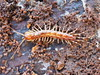 Banded Centipede - Lithobius variegatus (Fred's Uncle) Tags: myriapod centipede greatwood