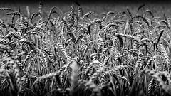 Wheat (konstantin.radchenko) Tags: wheat black bw white background plant dry seed isolated closeup natural organic nature corn dandelion spring season dark graine generosity ukraine