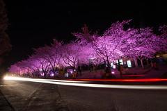 武陵夜櫻 (Hamster620) Tags: 台灣 taiwan 武陵農場 wulingfarm 樹 tree 植物 plant 夜景 night