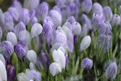 dreams in purple ~ in Explore (Wendy:) Tags: february garden multimage incameramultipleexposure me crocus purple droplets explored