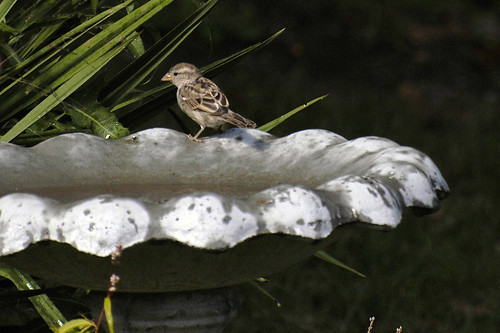 single sparrow at the birdbath