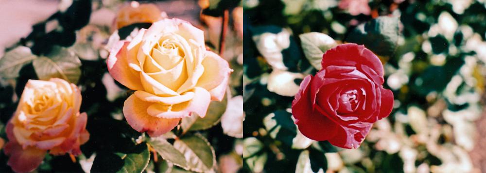 NYBG : Fall Roses